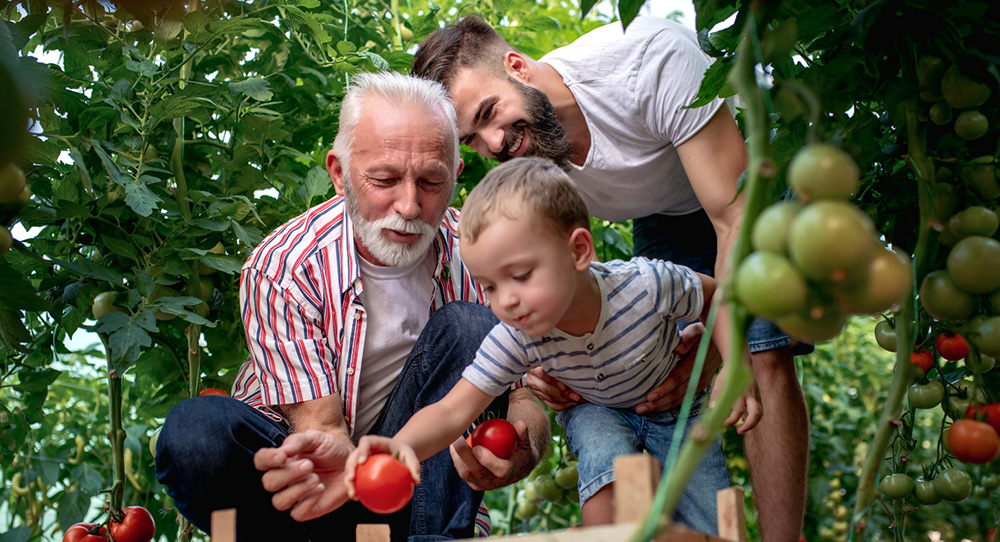 Son and grandson spending time with grandpa picking tomatoes